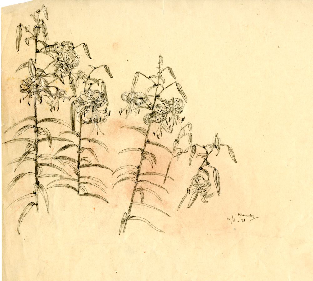 Tekening met potlood van enkele takken bloeiende lelies in Franeker door Sjoerd Kuperus