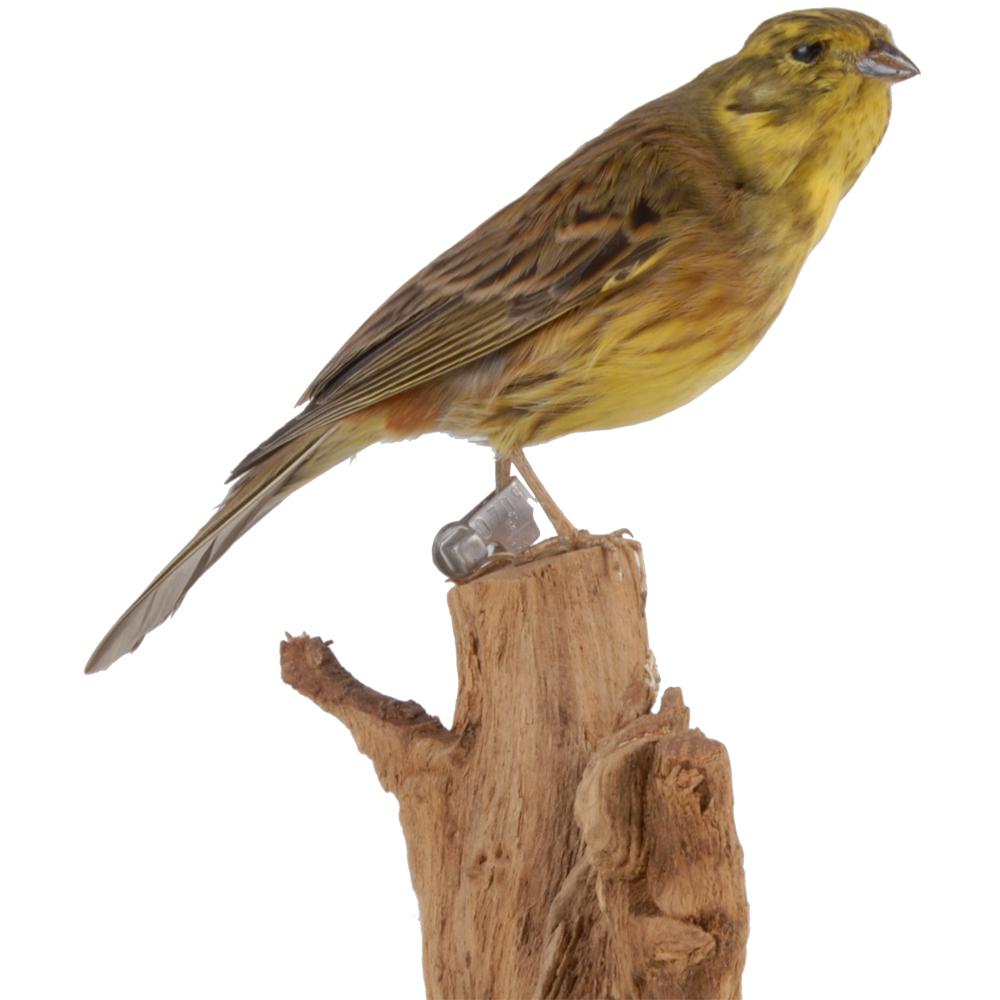 Opgezette vogel: Geelgors
