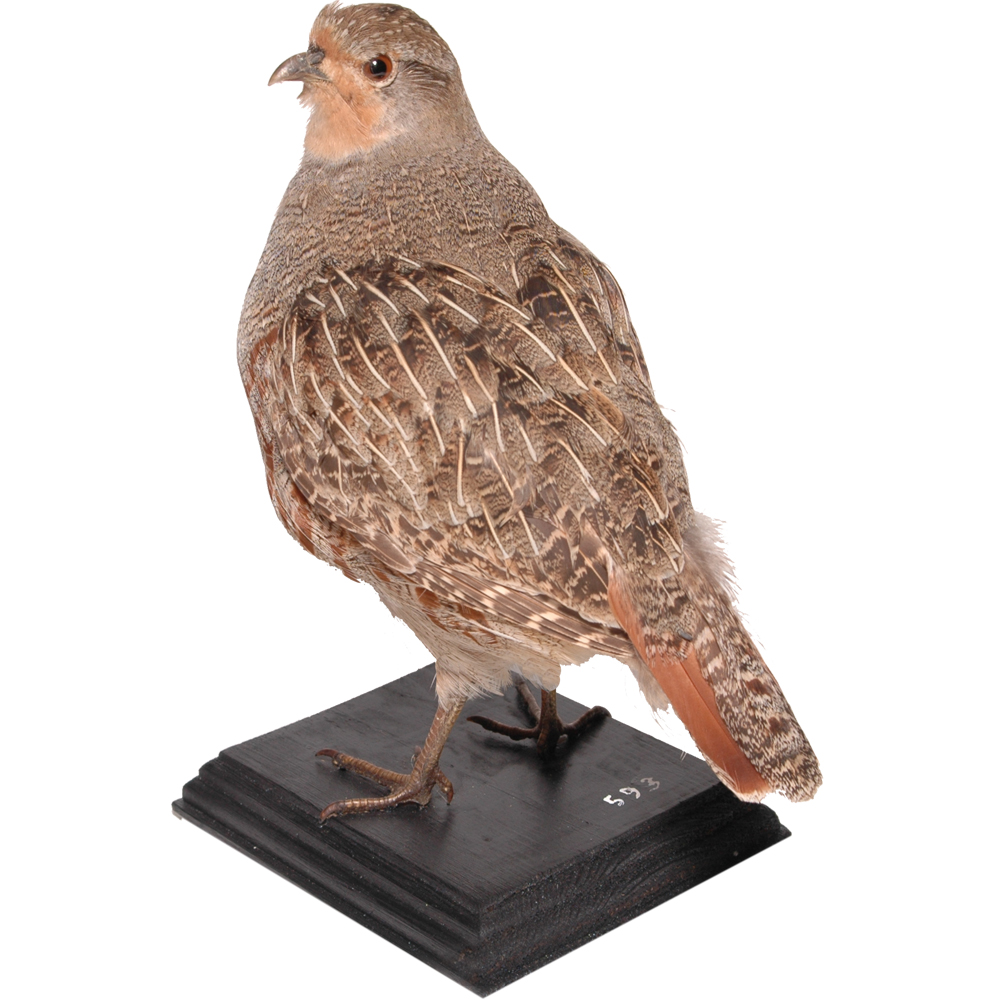Opgezette vogel: Patrijs