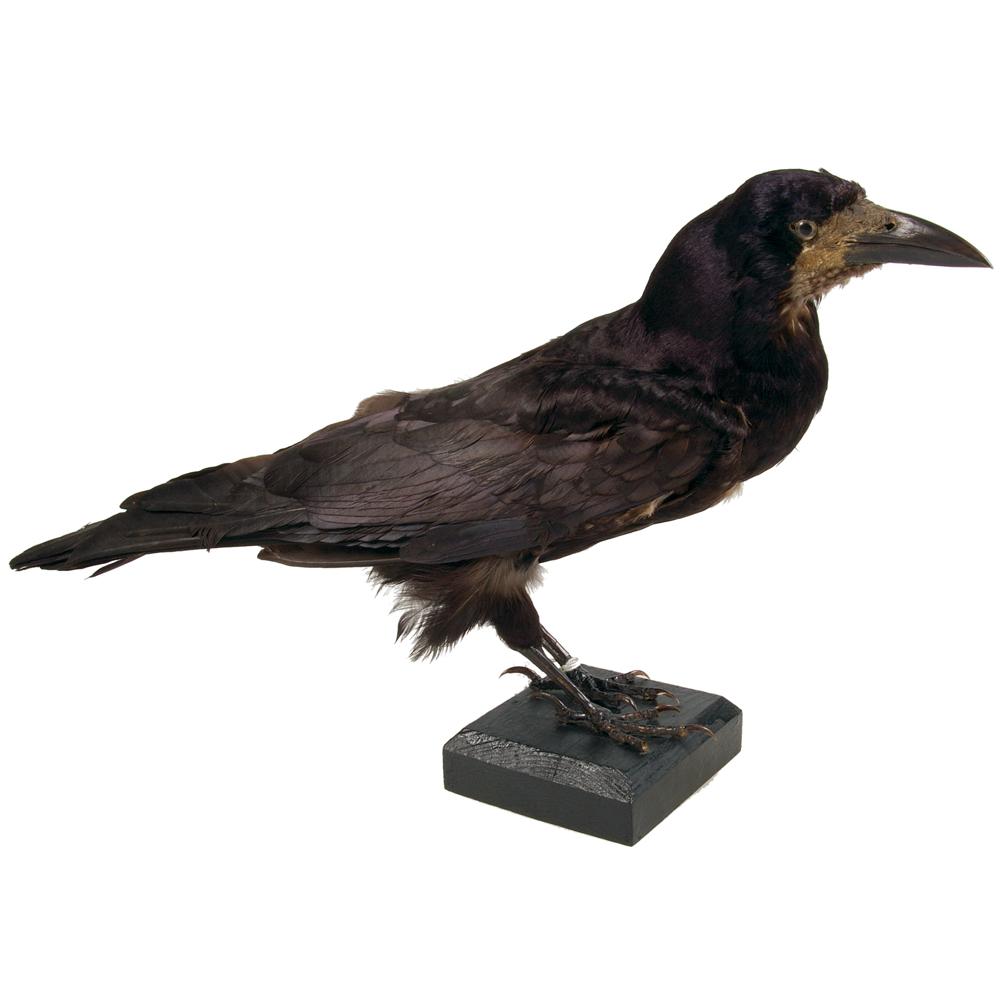 Opgezette vogel: Roek