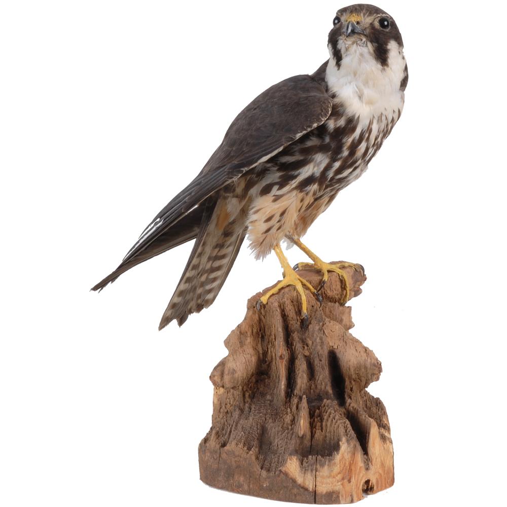Opgezette vogel: Boomvalk