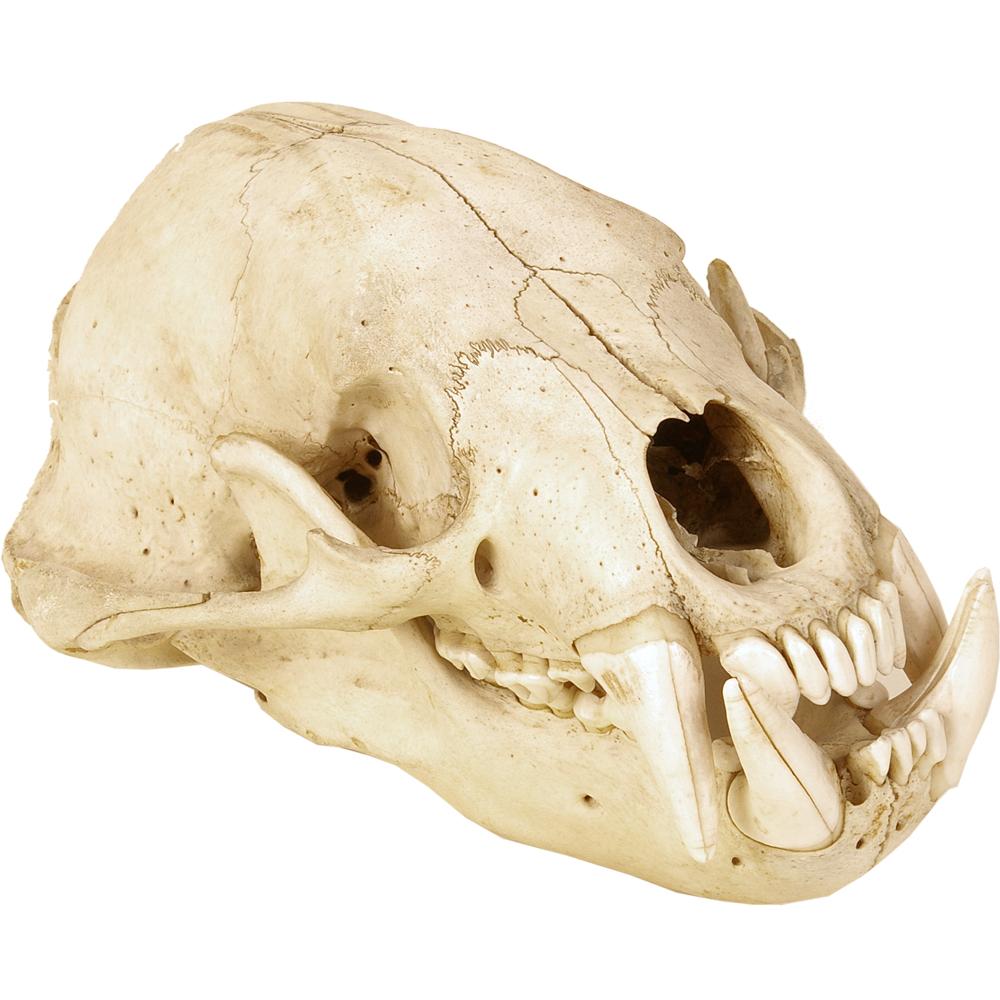 Schedel zoogdier: Hyena