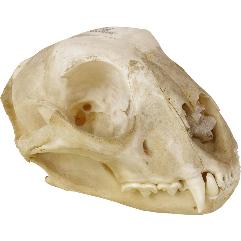 Schedel zoogdier: Jachtluipaard