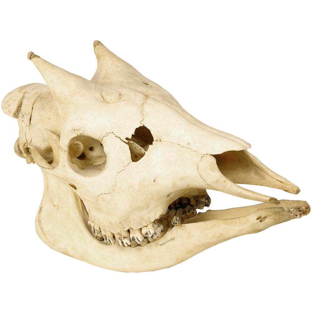 Schedel zoogdier: Okapi