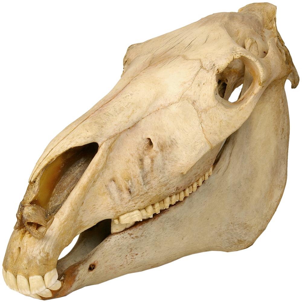 Schedel zoogdier: Paard