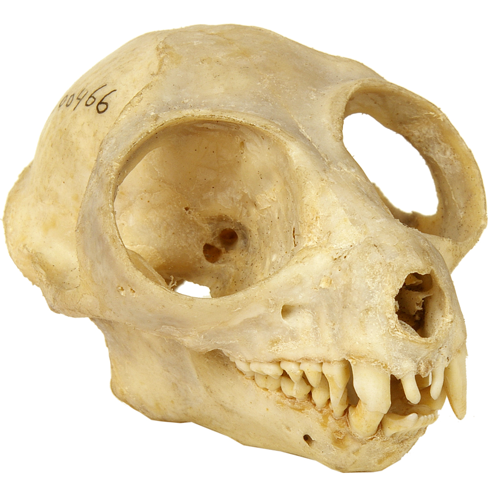 Schedel zoogdier: Slanke lori (halfaap)