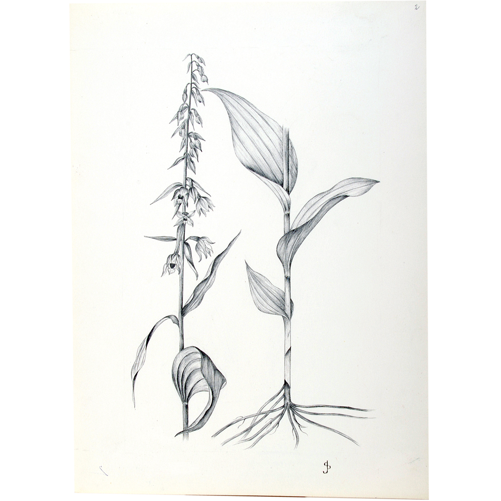 Tekening: Breedbladig wespenorchis