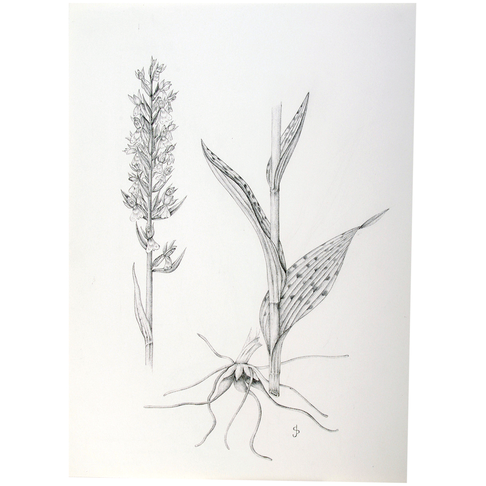 Tekening: Breedbladige orchis