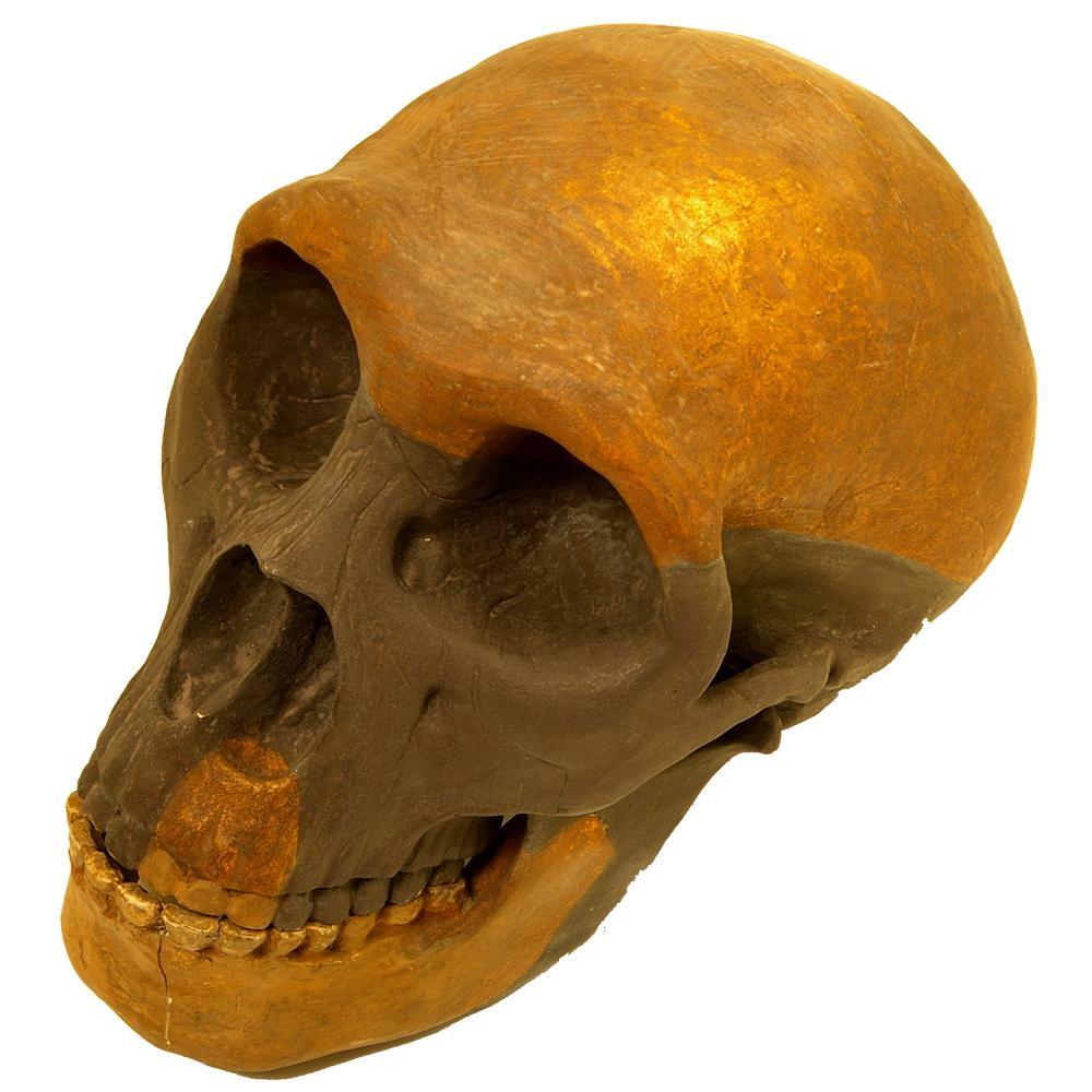 Schedel (replica): Homo Sapiens Neanderthalensis