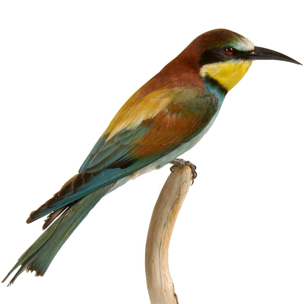 Opgezette vogel: Bijeneter