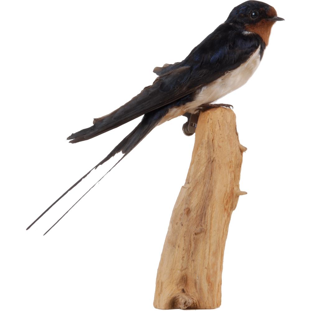 Opgezette vogel: Boerenzwaluw