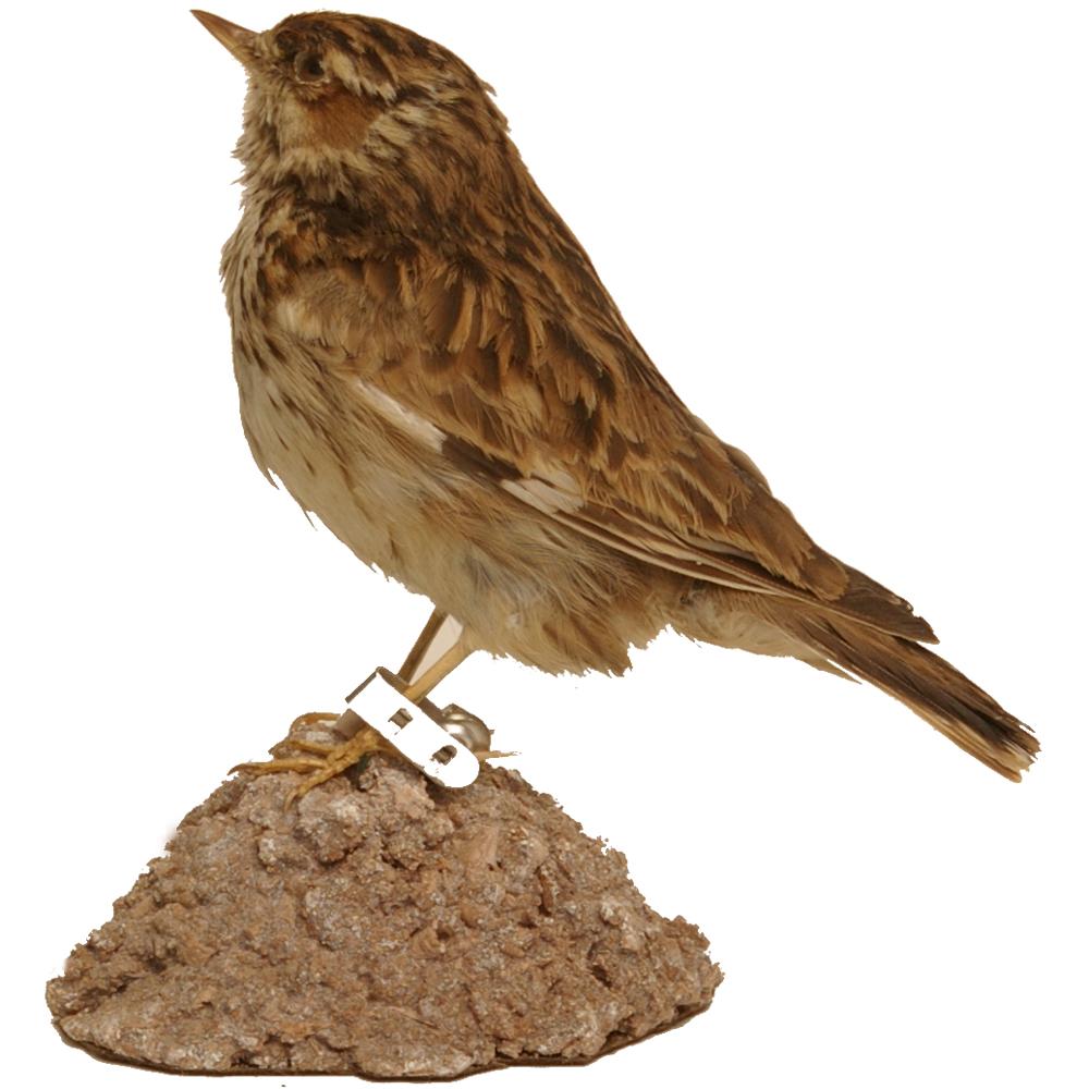 Opgezette vogel: Boomleeuwerik