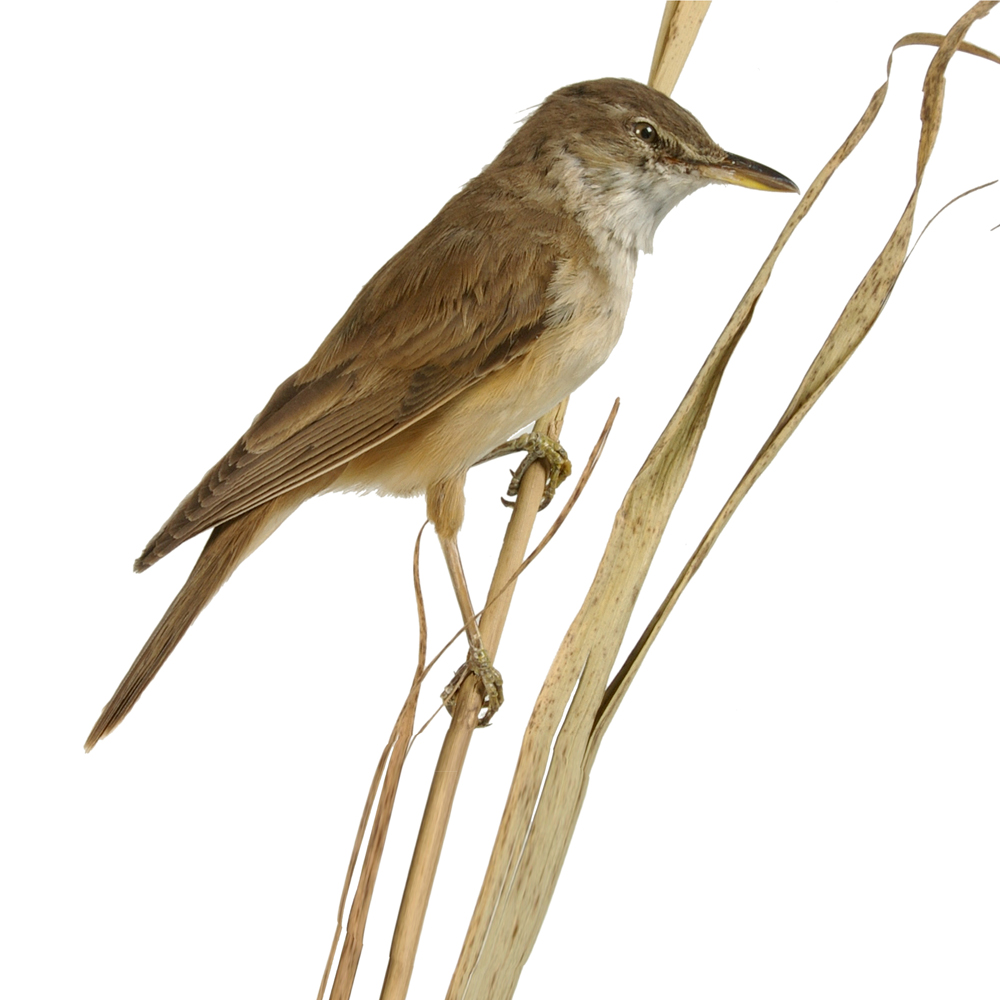 Opgezette vogel: Grote Karekiet
