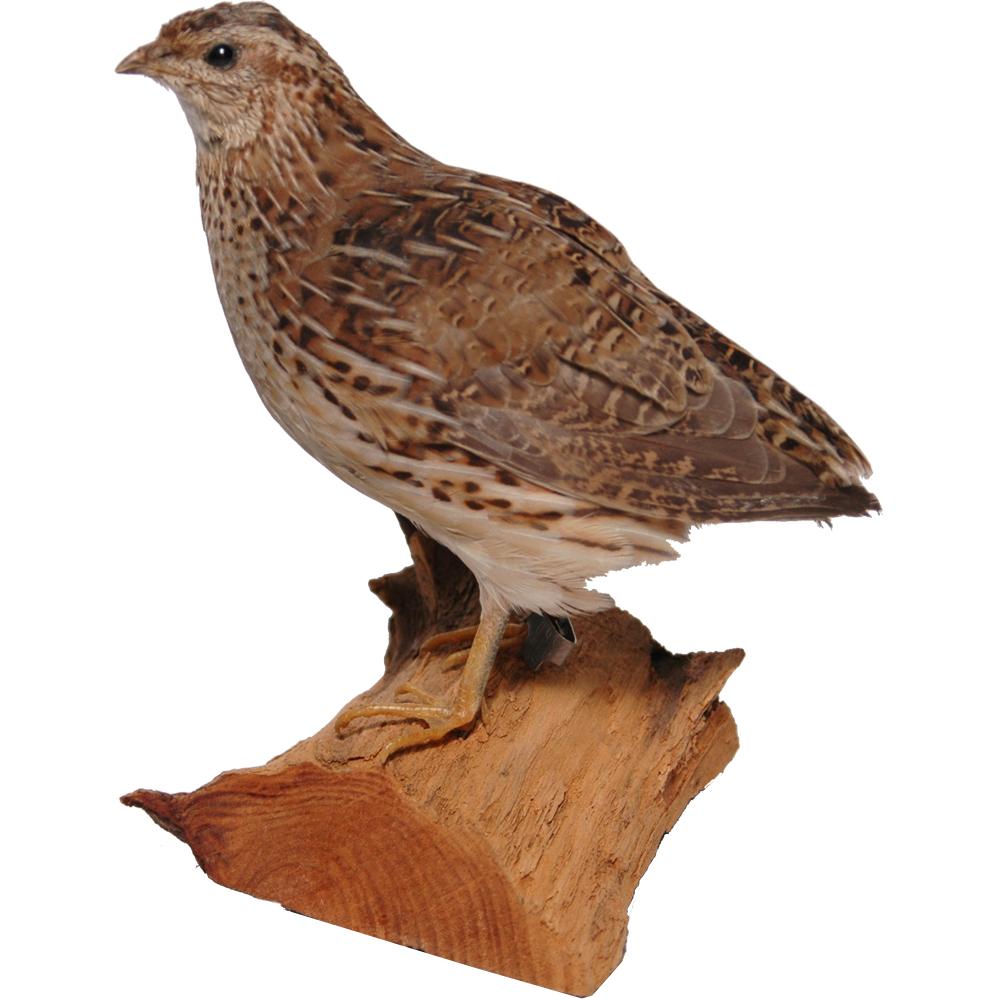 Opgezette vogel: Kwartel