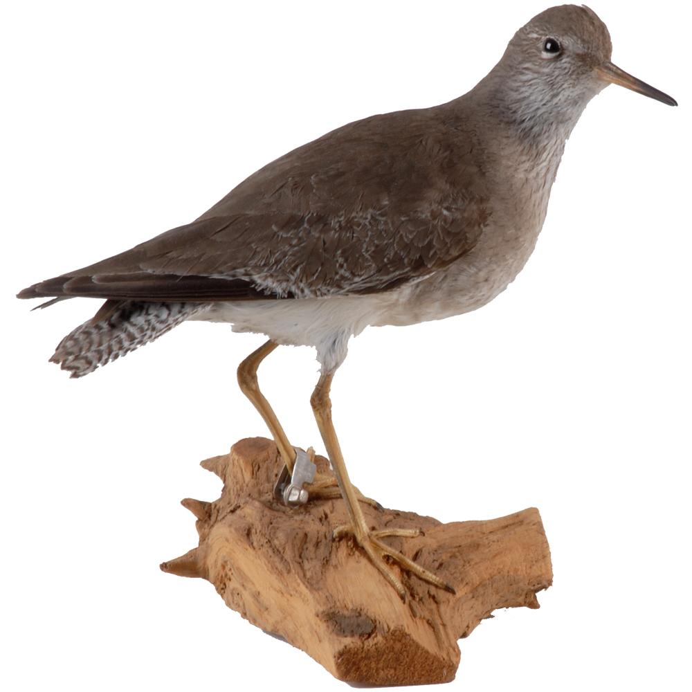 Opgezette vogel: Tureluur