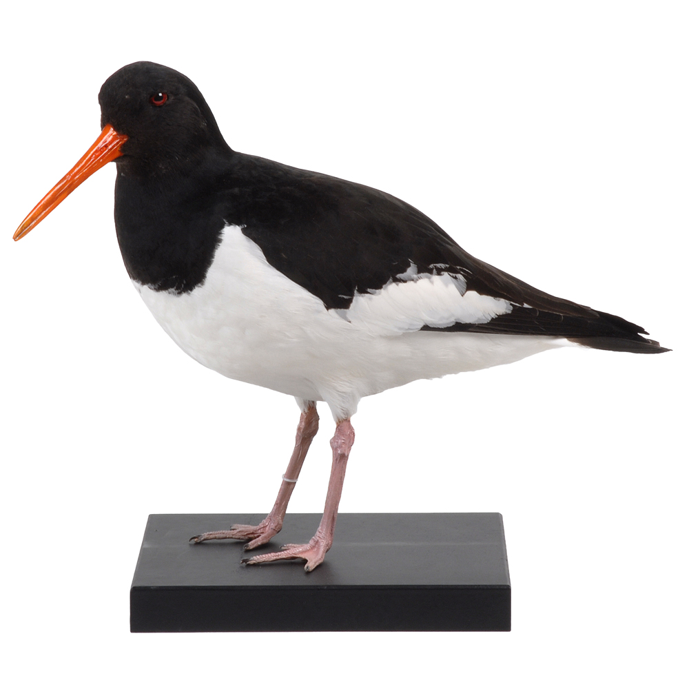 Opgezette vogel: Scholekster