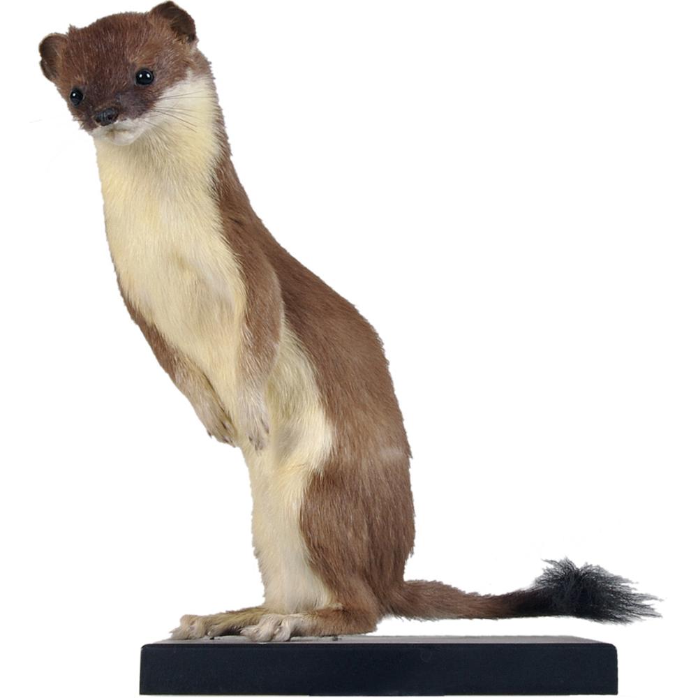 Opgezet zoogdier: Hermelijn