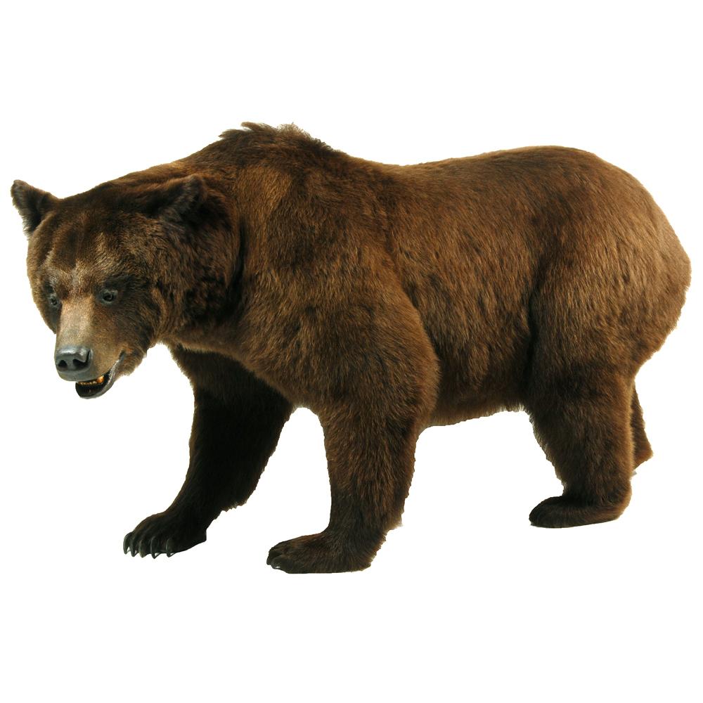 Opgezet zoogdier: Bruine beer
