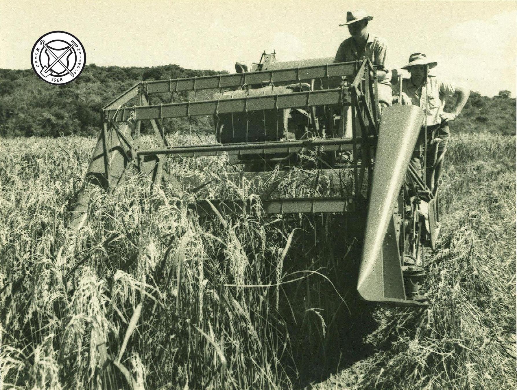 Rijstoogst met maaidorsmachine