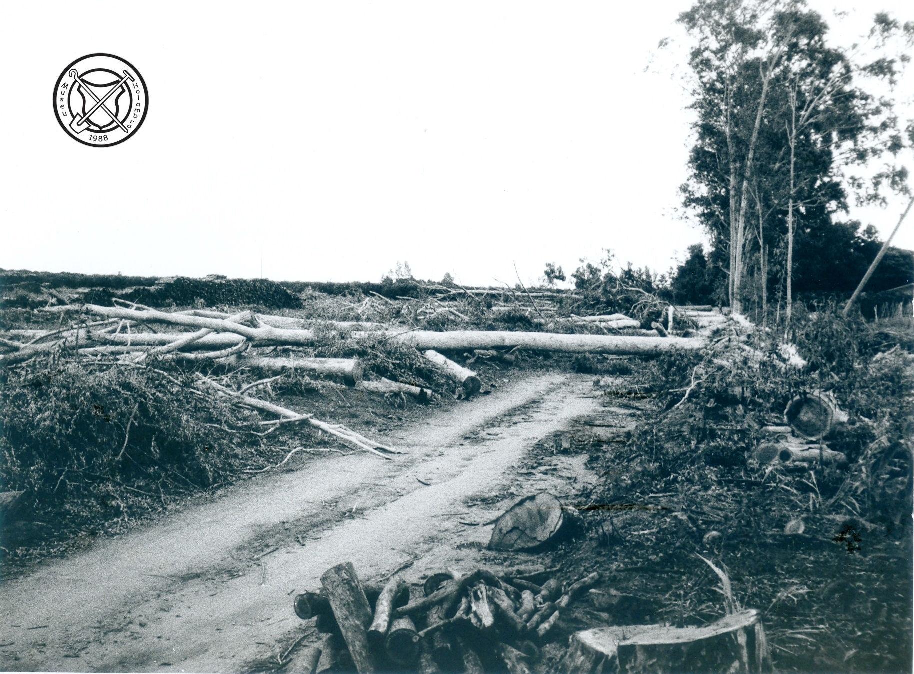 Gevelde eucalyptusbomen