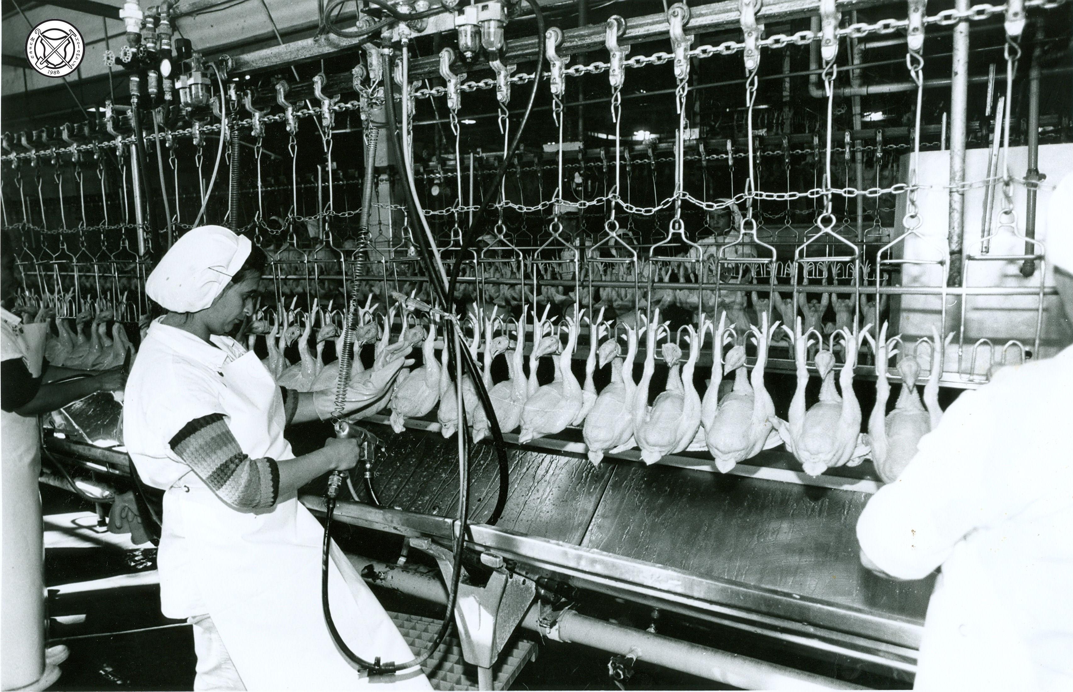 Het verwijderen van ingewanden en schoonspuiten van geslachte kippen