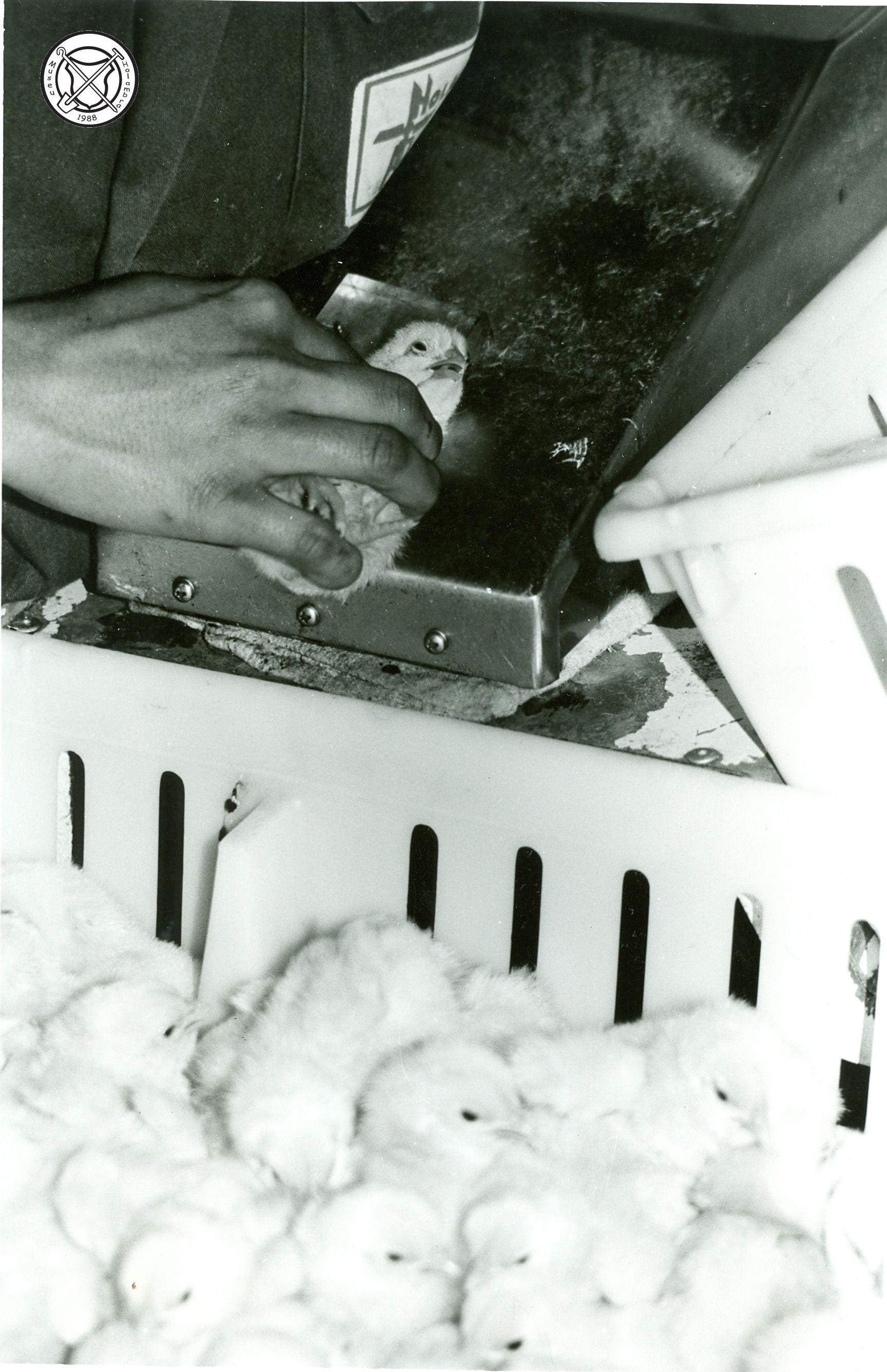 Automatische vaccinatie van pluimvee