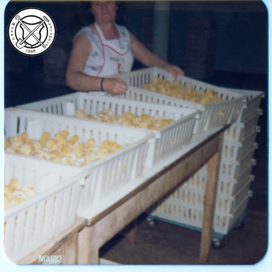 Handmatige vaccinatie van kuikentjes